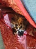 قطه صغيره شيرازيه للبيع