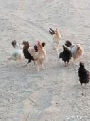 دجاج حضان وليس فقاسه