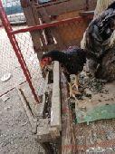 دجاج للبيع الموقع بلجرشي