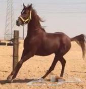 حصان شعبي سبوق