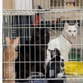 قطط شيرازي جميله للبيع