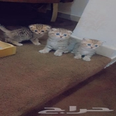 توصيل ونقل وشحن قطط