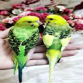 زوج طيور البادجي زوج أليف جدأ ونظيف
