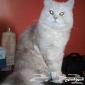 تزواج قط شيرازي اشقر العمر سنه ونص