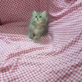 قطط للبيع برياض