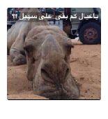 راعي ابل سوداني