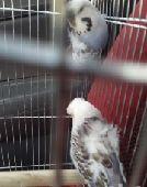 طيور الحب هوقوا