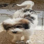 كلب مالتيز فرنسي