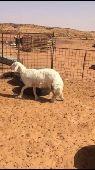 خروف جذع شحم ومعلق شرق الرياض