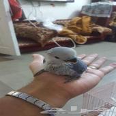 طير فرخ روز البينو العمر 25 يوم