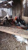صيصان دجاج تيماء