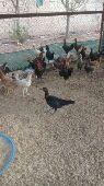 طقوم دجاج بلدي وديوك بشاير