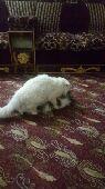 قطة حامل للبيع