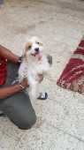 كلب مالتيز للبيع