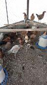 (تم البيع) دجاج باكستاني أصل
