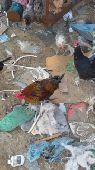 دجاج بلدي مع فيومي
