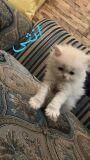 للبيع قطط شيرازي مون فيس