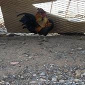 جوز دجاج كويتي ب انتاجه