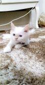 قطه للبيع شيرازي السعر 1150ريال