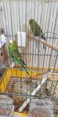 حفر الباطن زوج طيور الحب للبيع