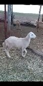 خروف حري للبيع(تم البيع )