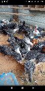 للبيع دجاج وديوك فيومي وبلدي الخرج 4شهورونص