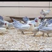 دجاج المنيوم