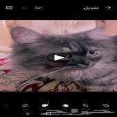 قط هملايا.