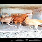 7 دجاج بشاير اعمارهم 5 أشهر
