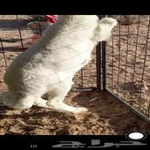 خروف حري للبيع