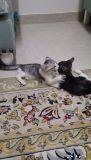 قطه قطط شيرازيات