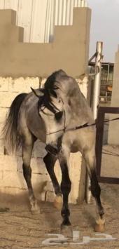 حصان واهو صويتي الفرم