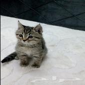 قطة قطط صغيرة شيرازي امريكي