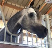 حصان شعبي أو واهو