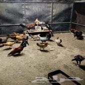 دجاج بلدي العدد 25 ذكور واناث