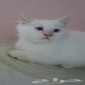 قطط شيرازي..