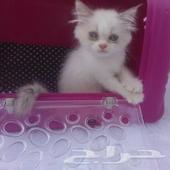 قطط قط لعشآق القطط كتن شيرازي للبيع