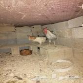 دجاج بلدي 4 وديك