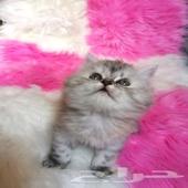 قطه شانشيلا صغيره للبيع