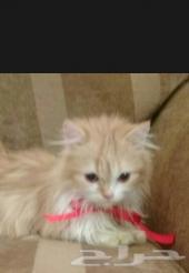 للبيع قطة شيرازية مع اغراضها