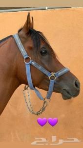 حصان مكس