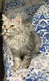 قطه انثى شيرازي للبيع لعوبه اليفه