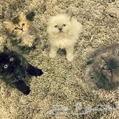 قطط صغيره شيرازي وهملايا