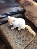 جدة - قطة ذكر عمرها شهور،