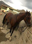 حصان عربي شعبي