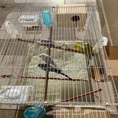 3 أزواج من طيور الابادجي للبيع
