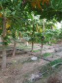 مزرعه جازان مساحتها مليون و300الف.