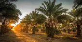 مزرعة نخل محميات للايجار