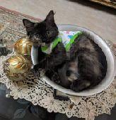 قطط شيرازي فارسي للبيع
