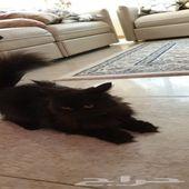 قطة بيكي فيس